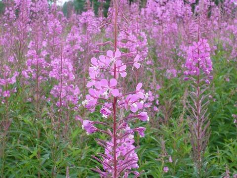 夏の「上ノ平高原」、濃紫色のヤナギランが満開。
